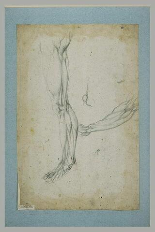 Etude de musculature d'une jambe et d'un bras; détail d'une articulation