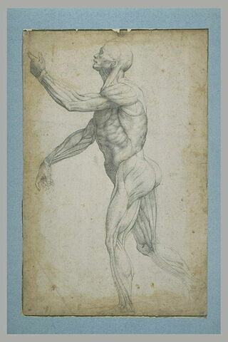 Etude d'un écorché debout, de profil, tourné vers la gauche