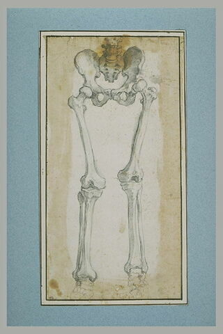 Etude de la partie inférieure d'un squelette debout, de face
