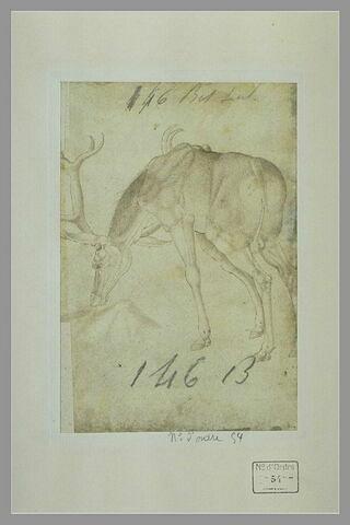 Etude d'un cerf, la tête baissée et tournée vers la gauche