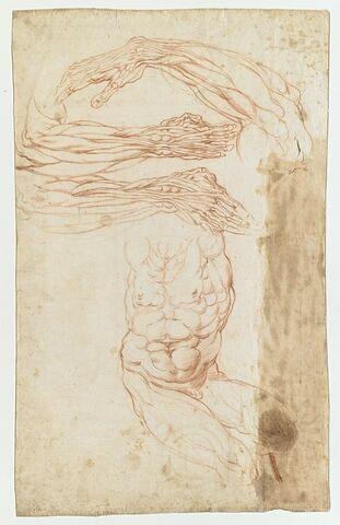 Etude d'homme écorché : bras et torse