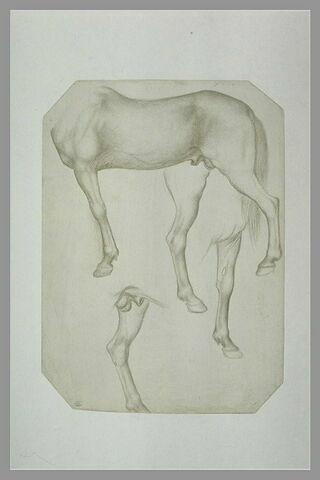 Corps d'un cheval ; études des jambes