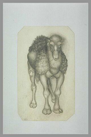 Un chameau vu de face
