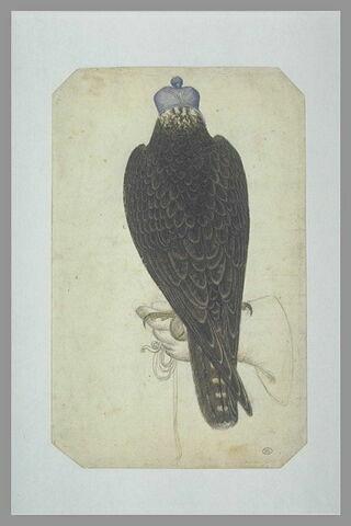 Jeune faucon lanier ou jeune faucon pèlerin armé, perché sur une main gantée