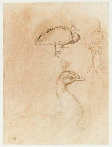 Deux études de paons et détail de la tête et du cou d'un paon vu de profil