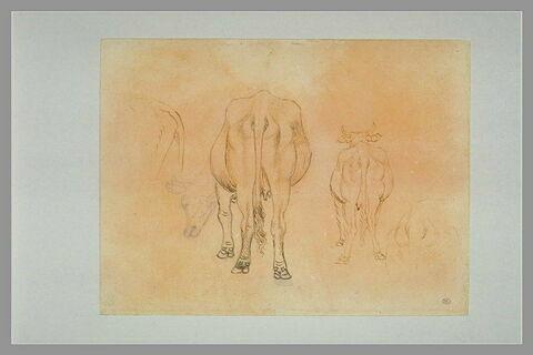Etudes de vaches