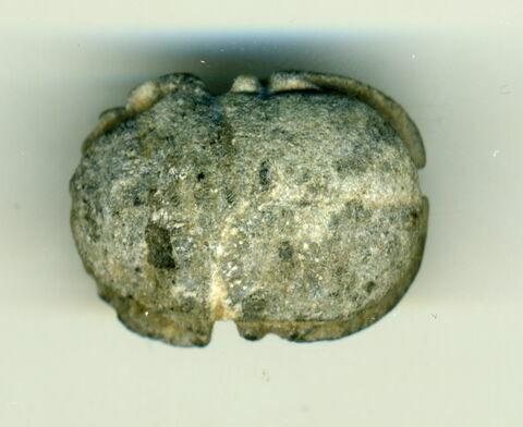 scarabée à ventre détaillé
