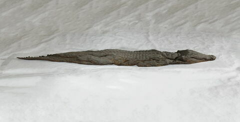 momie de crocodile