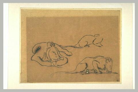 Trois études : lion couché, lion buvant, corps de lion