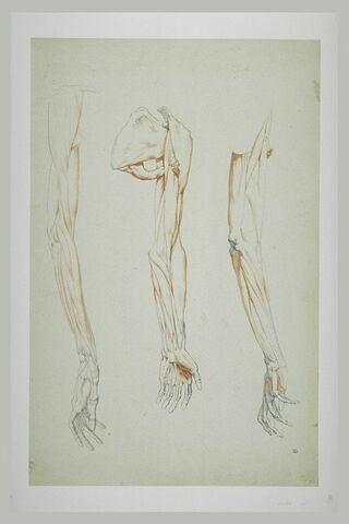 Trois études myologiques du bras droit de l'Apollon du Belvédère