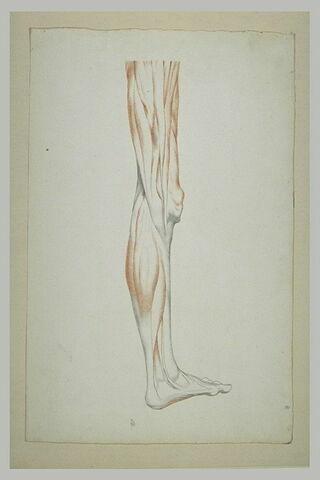 Etude myologique d'une jambe gauche