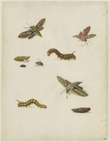 Feuille d'études : cocons, chenilles, mouches et papillons