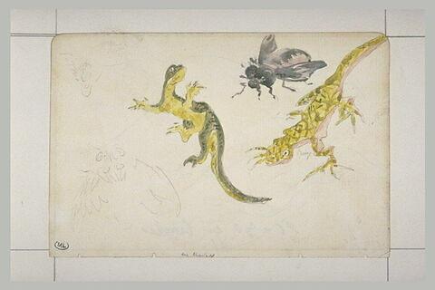 Etudes : deux salamandres, une grosse mouche