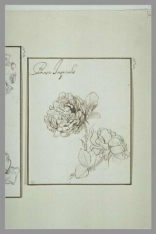 Etudes de roses