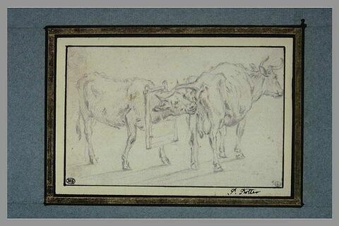 Vache et taureau