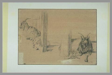 Deux chèvres et un mouton couchés près d'une clôture