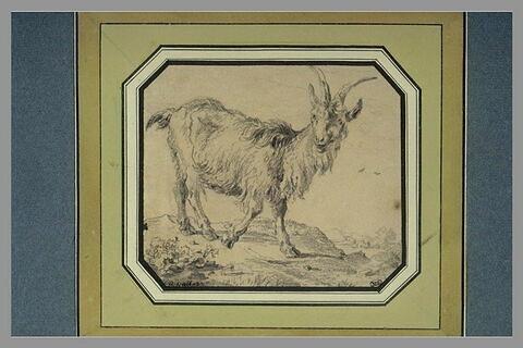 Etude de chèvre