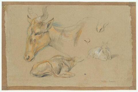 Etude d'une antilope