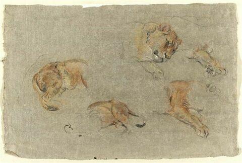 Etudes de lions