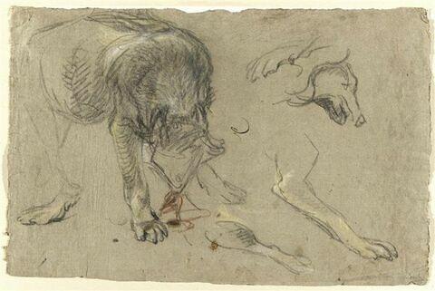 Etudes d'un loup, d'une tête et de pattes