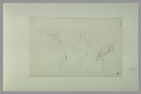 Cinq études d'oiseau échassier