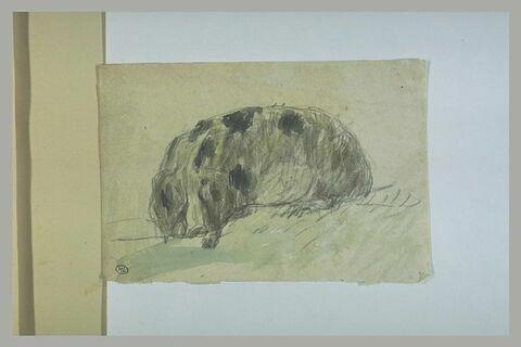 Etude d'un porc couché