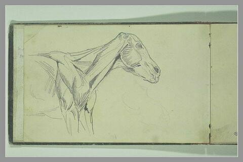 Ecorché de cheval, vu jusqu'à mi-corps, de profil à droite