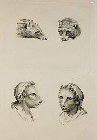 Deux têtes de civettes et deux têtes d'hommes en relation avec la civette