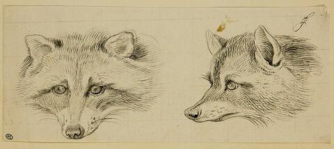 Deux têtes de renard