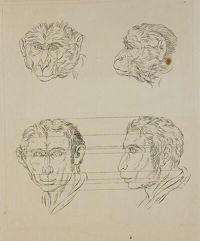 Deux têtes de singes. Deux têtes d'homme en relation avec le singe.