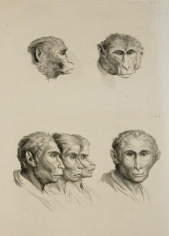 Deux têtes de singes. Quatre têtes d'hommes en relation avec le singe.