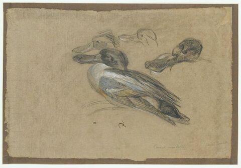 Canard et trois têtes de canard
