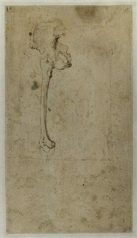 Etude d'ossements : fémur et bassin droits
