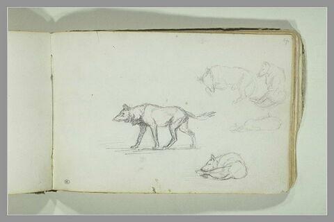 Etudes de loups