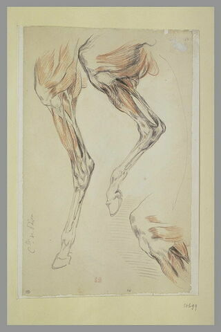 Deux études de jambe de cheval écorché et haut de cuisse