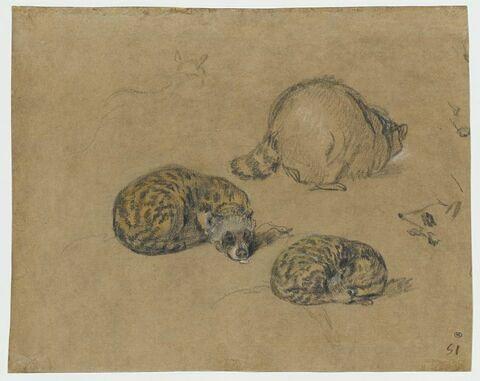 Etudes d'un petit mammifère au pelage tacheté et du dos d'un raton laveur