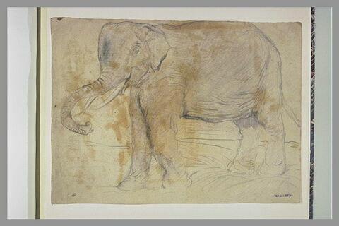 Eléphant, profil à gauche