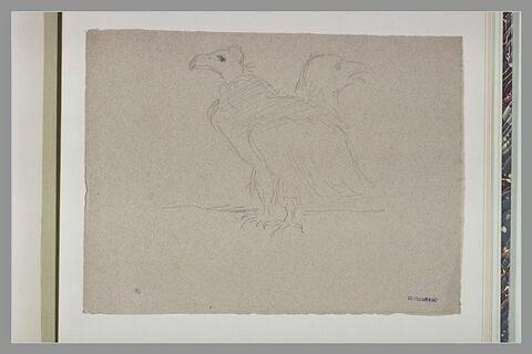 Vautour ; tête d'aigle