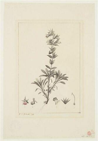 Une plante du jardin de La Malmaison : Stachys ixodes (Labiées)