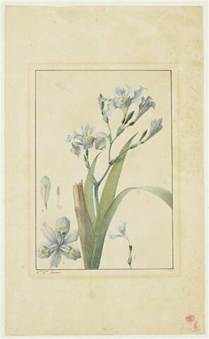 Une plante du jardin de La Malmaison : Iris