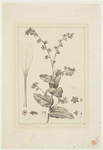 Une plante du jardin de La Malmaison : Cyneglossum Columnae (Borraginacées)
