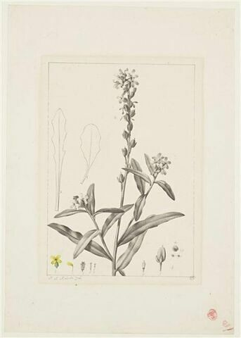 Une plante du jardin de La Malmaison : Alyssum stylare (Crucifères)