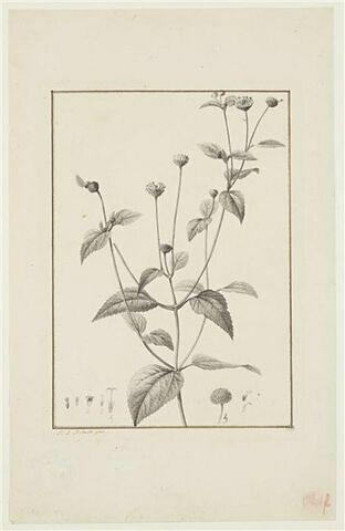Une plante du jardin de La Malmaison