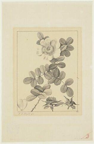 Une plante du jardin de La Malmaison : Rosa