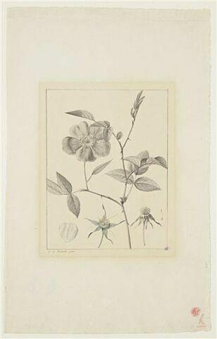 Une plante du jardin de La Malmaison : Rosa chinensis