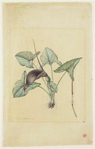 Une plante du jardin de La Malmaison : Typhonium divaricatum (Aracées)