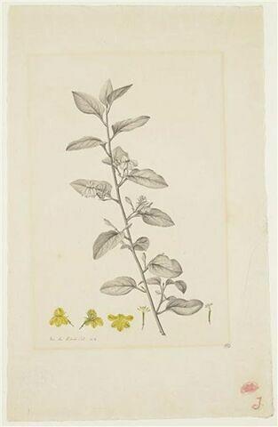 Une plante du jardin de La Malmaison : Goodenia ovata (Goodéniacées)