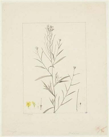 Une plante du jardin de La Malmaison : Erysimum helveticum (Crucifères)