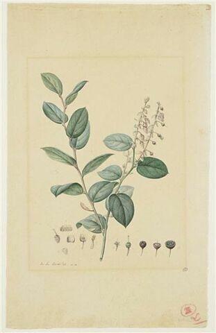 Une plante du jardin de La Malmaison : Gaultheria erecta (Ericacées)