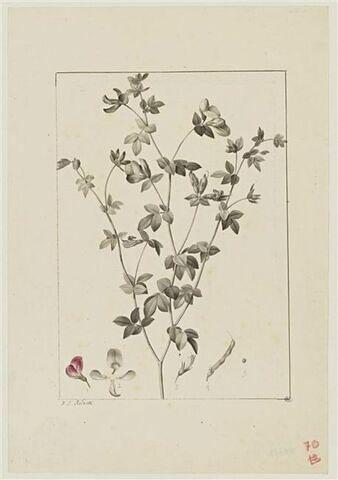 Une plante du jardin de Cels : Lotus gebelia (Légumineuses)